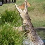 Salt water croc